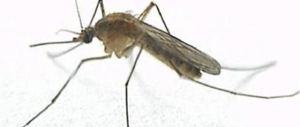 Комары выбирают своих жертв по генам