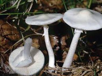 Ядовитые грибы разрушают печень